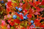 Canvas Photo  - 8 x 10 - Fall Blueberries