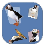 Gift Wrap - Puffins
