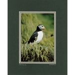 Matted 8 x 10 Photo - Atlantic Puffin