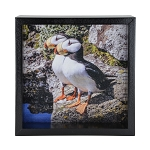 Puffin Window Box - Black Frame